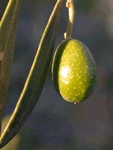 Olive amare... Ma a te quanto t'han fatto?