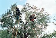 Cortona: cade dall'albero mentre raccoglie olive grave 67enne