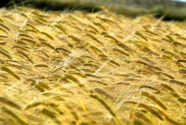 Una filiera cerealicola per la Valdichiana, stasera la presentazione del progetto