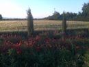 Fields of gold in Valdichiana