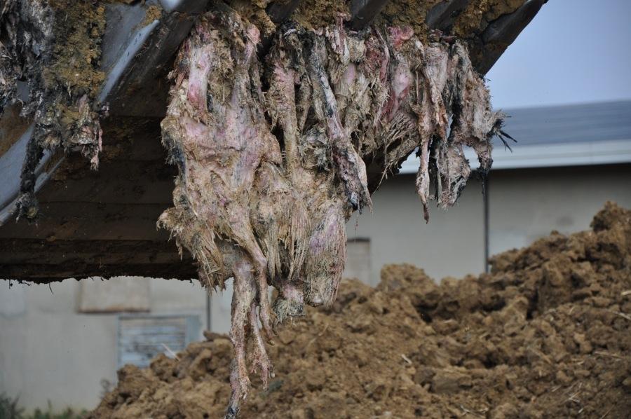 Castiglion Fiorentino: migliaia di carcasse sotterrate illecitamente