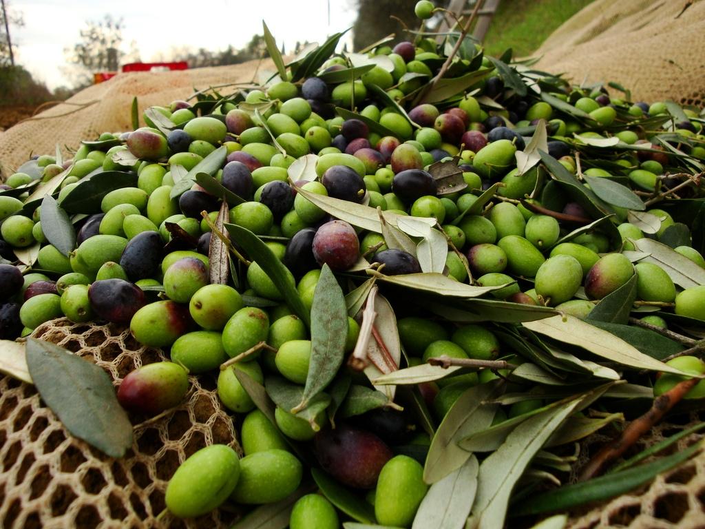 Cortona, dal Consiglio Comunale sostegno unanime all'olivocoltura