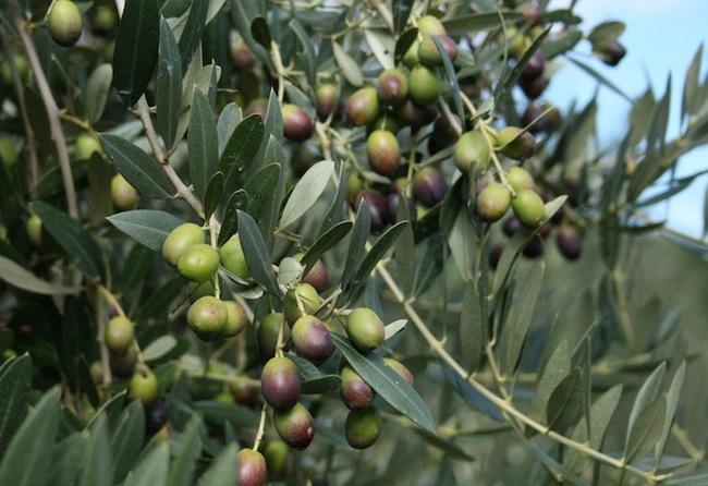 Italia Nostra sul progetto di olivocoltura super intensiva in Val di Chio