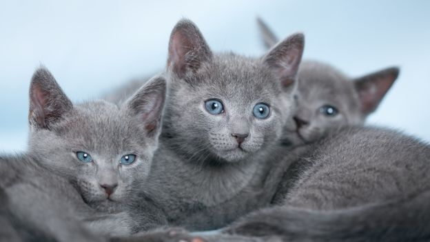 150 gatti in mostra a Castiglion Fiorentino, in scena l'Esposizione Felina Internazionale