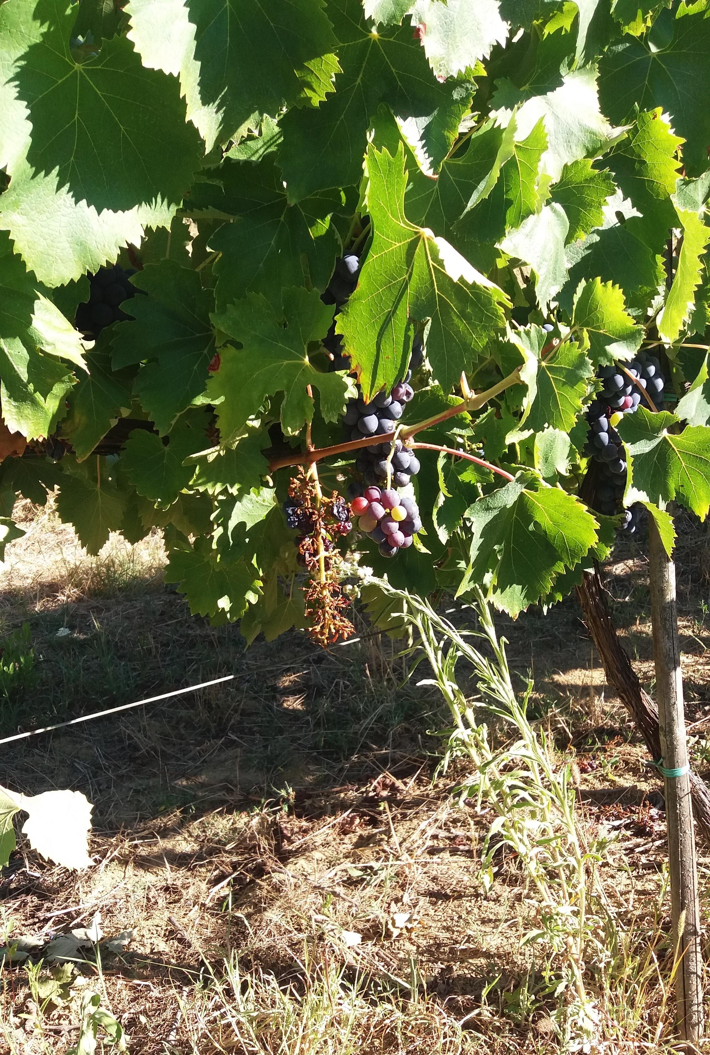 Agli ungulati piace l'uva aretina