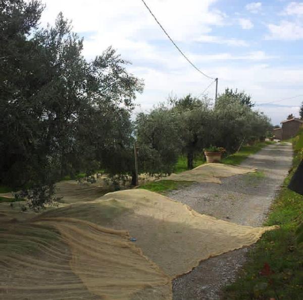 Olive, olio extravergine e... mosca!