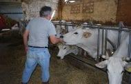 Dai fratelli Abbruzzetti carne marchiagiana dal produttore al consumatore