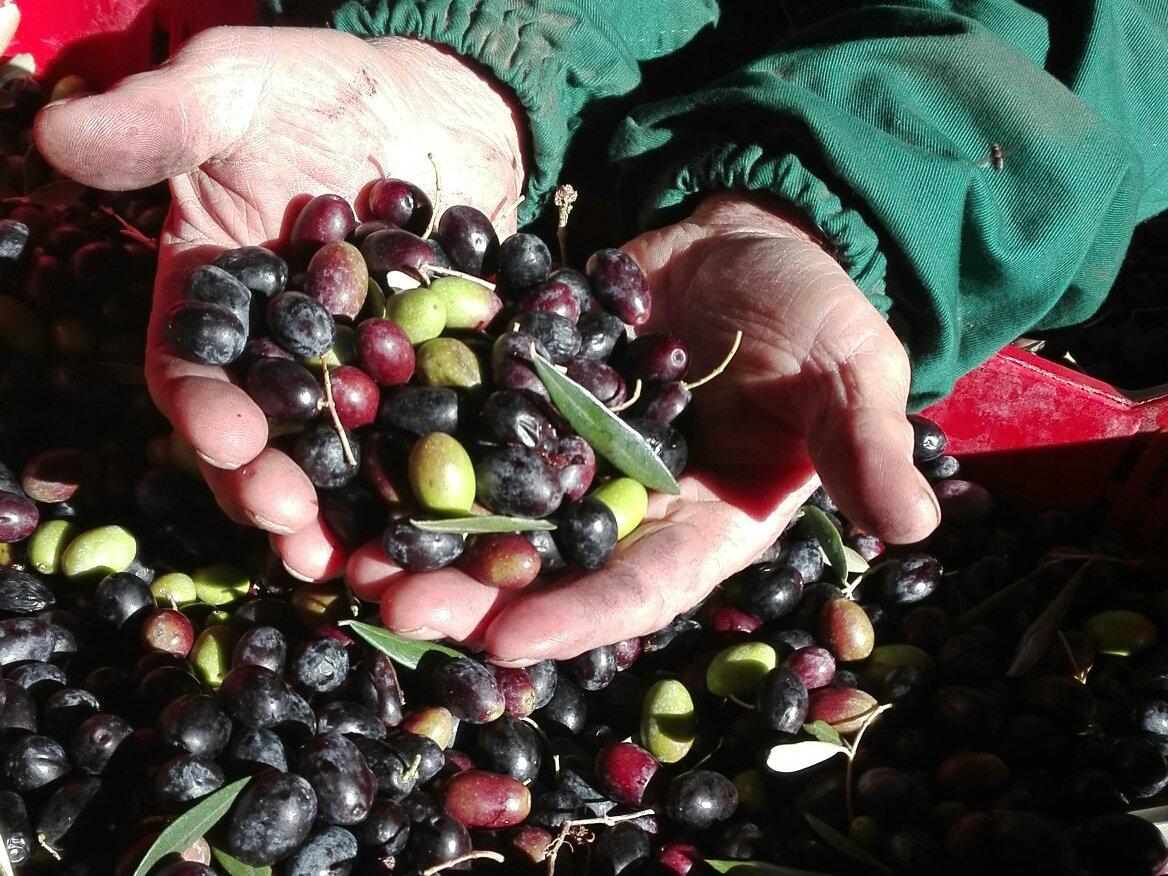 'Ntu lo ziro pichjno c'è l'olio bono! - Impressioni sulla raccolta delle olive