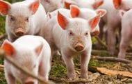 Allevamenti, cattivi odori e nuovo Regolamento a Cortona: approfondiamo