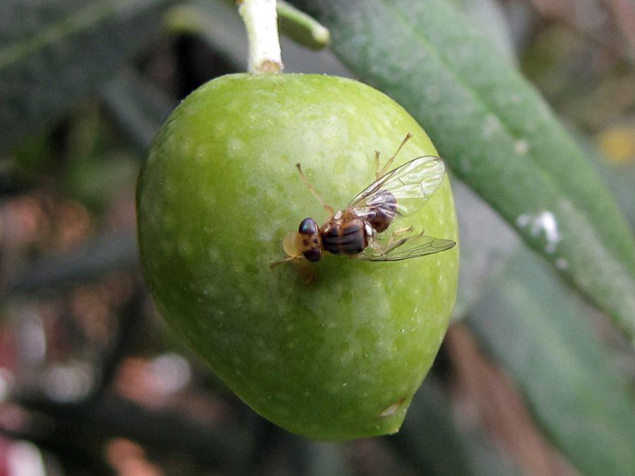 Nuove trappole per monitorare la mosca olearia