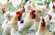 Il Ministero certifica l'eccellenza delle carni bianche cortonesi