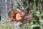 Elegia per le mie amiche galline, compagne del lockdown