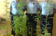 43enne coltivava marijuana, scoperto dalla Polizia Municipale