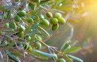 Olivi a Cortona, il Comune ringrazia i coltivatori